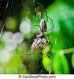 pająki, jeść, ćmy