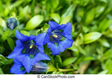 Trumpet gentiana blue spring flower in garden for background