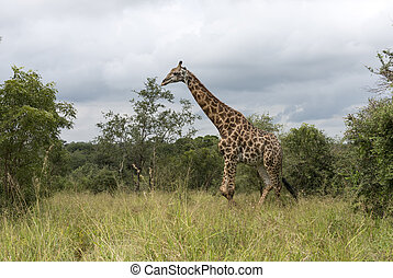 giraffe in south africa - walking giraffe in south africa on...