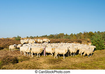 Sheep herd with white animals