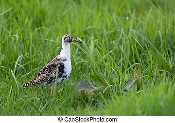 Female Ruff in nature