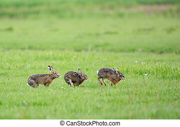 Running European hares in spring season in the meadows