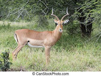 impala kruger national park south africa
