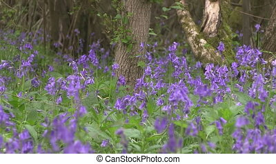 Bluebells flowering in English wood - A carpet of Bluebells...