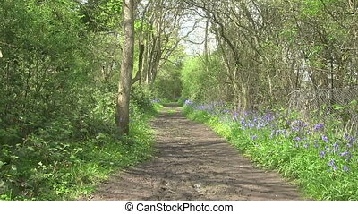 A woodland path in England - Bluebells flowering either side...