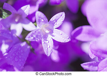 campanula muralis - Campanula muralis natural background
