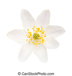 Anemone nemorosa isolated on white