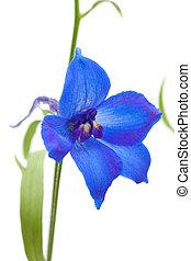delphinium - vibrant blue delphinium flower isolated on...