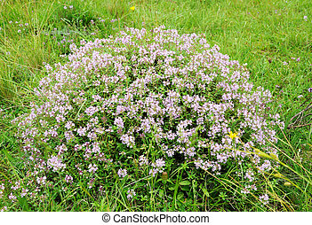 bush of thyme - Big bush of thyme in blossom of violet...