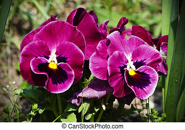 Pansy Flowers - Photo fo the Bright Pansy Flowers