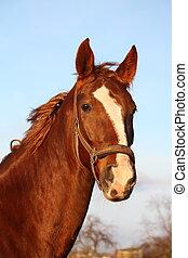 Brown horse portrait in rural area - Brown beautiful horse...