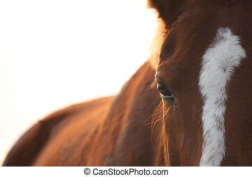 Chestnut horse eye close up  during sunset