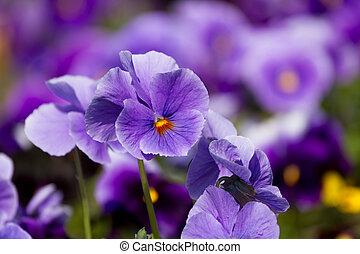 viola, flores