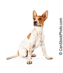 Red Heeler Puppy - Cute three month old Red Heeler puppy dog...