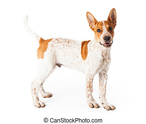 Red Heeler Puppy Profile - A cute three month old Red Heeler...