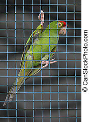 red head green parrot in cage