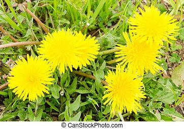 flowers of dandelion in spring