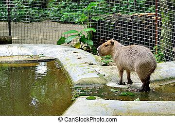 capybara - A lonely capybara