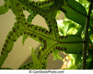 Sori of fishtail fern, Thailand - Close up of fishtail fern...