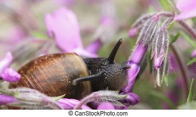 macro of small garden snail eating