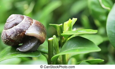 macro of small garden snail on green leaves
