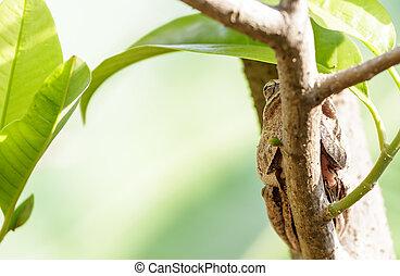 marrón, rana, después, hibernación