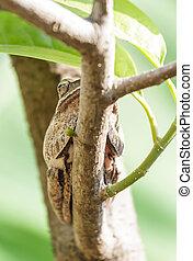 marrón, hibernación, después, rana