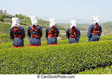 woman harvesting green tea leaves - Rear view of Japanese...