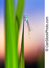 Sunset damselfly - Common Blue Damselfly Enallagma...