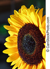 Helianthus annuus - Close up image of a beautiful sunflower...