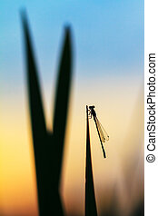 Silhouette damselfly - Beautiful silhouette of a damselfly...