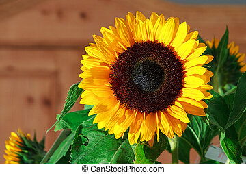 Sunflower brown - Close up image of a beautiful sunflower...