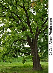 Oak Tree in Park