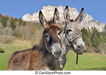 portrait of two cute donkeys - portrait of two lovely and...