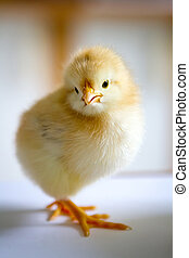one small fluffy yellow chick standing in a half-turn on the...