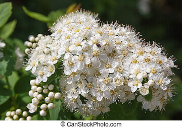 flowers Viburnum opulus - inflorescence of white flowers of...