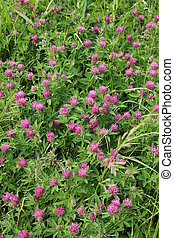 red clover - Bright summer field blooming fragrant red...