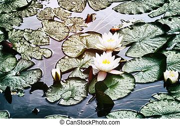 eau, fleurs, lis, fleurir