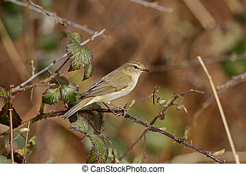 Chiffchaff, Phylloscopus collybita, Single bird on branch,...