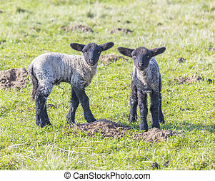 Spring pasture with flock of sheep and lambs - Spring...