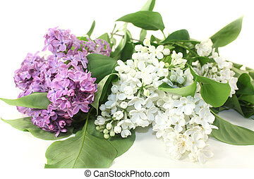 Lilac - Purple Lilac flowers on a white background