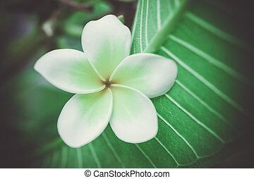 Tropical flowers frangipani plumeria Macro shoot