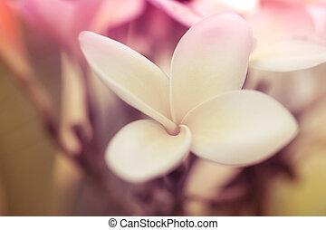 Tropical white flower frangipani plumeria Macro shoot