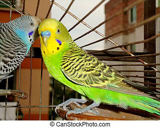 Whispering budgerigars