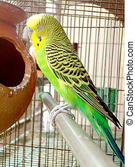 Sleeping budgerigar