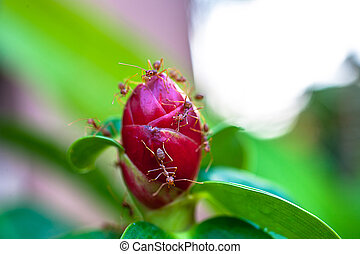 Ants is staying on the red unblown flower bud. Macro