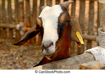 Close-up goat in the farm