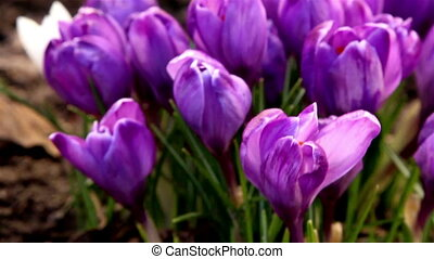Close up view of the flower of crocus plant - Close up view...