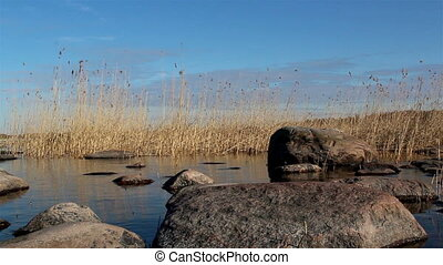 Tall brown reeds on the coastline - Tall brown reeds growing...