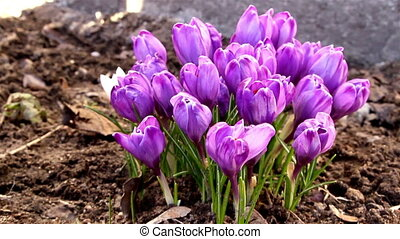 The purple petals of the crocus plant - The pretty purple...